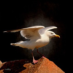 J Livingston....? (Cachemaille) Tags: animal animals seagull gull bretagne animaux goland francoisekervarec jonathanlinvingston