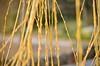 Salix babylonica (ipek erdagli) Tags: landscape nikon landscaping salix babylonica d5100