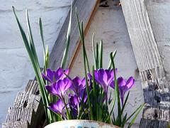 Through The Sun... (carlene byland) Tags: flowers light wall petals basket crocus pot