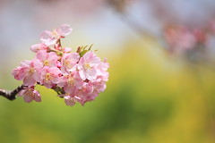 cherry blossoms (cate) Tags: pink flower yellow spring blossom ngc npc bloom cherryblossoms 2012 rapeblossoms coth5
