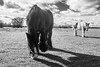 In the field (richboxfrenzy) Tags: eatinggrass horsehorseyhorseyneigh