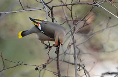 Bohemain Waxwing (Bombycilla garrulus) (Photography Through Tania's Eyes) Tags: canada tree bird nature animal fauna photography photo bill pom wings flora nikon photographer berries bc image britishcolumbia okanagan wildlife branches feathers photograph waxwing birdwatcher okanaganvalley bombycillagarrulus bohemianwaxwing foraging peachland copyrightimage hardyfallsregionalpark nikond7000 taniasimpson