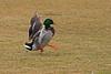 Skippy (littlebiddle) Tags: nature birds washington wildlife sony feathers aves yakima a55 dslt