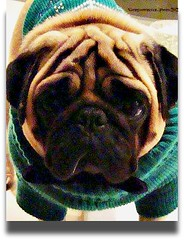 Lovely and warm....... (GIORGINOFOREVER**) Tags: cold nature weather warm pug jumper lovely carlino