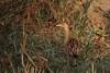 Watercock (Arvind Balaraman) Tags: pulicat watercock avianfauna chennaiindiatamilnadu gallicrexcinereawaterbird