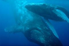 Humpback Mom and Babe, Maui (LindaJ55) Tags: vacation hawaii maui whales humpback