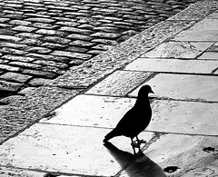 Pigeon (Simon Clare Photography) Tags: uk travel wild england blackandwhite bw white black southwest bird art simon nature monochrome animal animals silhouette contrast digital bench photography mono li photo blackwhite nikon clare foto pigeon wildlife ska plymouth visit shades explore devon hoe gb contract ng ho fotografia tones fotografi צילום colourless larawan عکاسی تصوير sary picha фотография diigital d40 consequat fotoğrafçılık igbo fotografija sawir fotografování simonclare pagkuha simoncphotography sclarephoto whakaahua фотаздымак kujambula fọtoyiya argazkilaritzac
