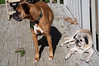 dogs (jessfir) Tags: pets dogs ginger pug boris boxer boron gingie