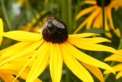 Honey bee...... (DaanVerweij) Tags: copyright flower  honeybee daan verweij daanv
