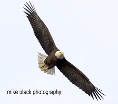 Bald Eagle (Mike Black photography) Tags: new sky usa black bird mike nature canon lens flying nest eagle bald aves 7d jersey l f28 400mm