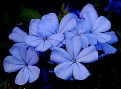 February blues (YangMinLi) Tags: plumbago amazingdetails