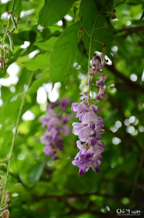 植物園紫藤04.jpg