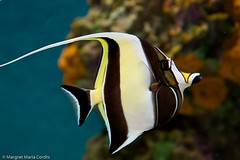 Aquarium longfin bannerfish (Margret Maria Cordts) Tags: ca aquarium bay monterey feb 2012