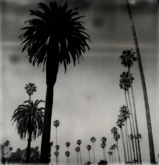 Impossible Palms (tobysx70) Tags: california santa ca trees toby bw white black tree cemetery silver project palms polaroid sx70 la los cool boulevard angeles 66 palm route monica tip shade hollywood forever 100 sonar hancock rt blvd rte impossible the px silvershade tele15 theimpossibleproject tobyhancock impossaroid px100cool