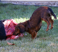 preymodelraw rawfeedingmeatdachshundampcarnivoredogcanine