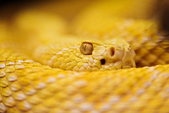Albino rattlesnake (Tambako the Jaguar) Tags: macro eye yellow switzerland nikon pretty bokeh reptile snake portait egg albino zrich rattlesnake vivarium d700 reptilexpo