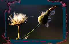 edphoto-2701 (Ed. Guimarães) Tags: flower entardecer supershot edphoto