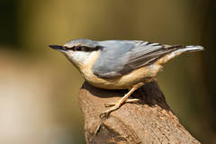 Nuthatch (^Jared) Tags: camera nature birds nuthatch canon7d ancellsfarmnr