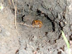 treefrog1 (Greenbelt Alliance) Tags: animals wildlife frog urbanwildlife treefrog brianmurphy