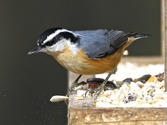 I don't like this one! The ungrateful red breasted nuthatch (sole.r) Tags: ny newyork cute bird feeding small sittacanadensis easthampton redbreastednuthatch supershot thegalaxy specanimal thewonderfulworldofbirds coth5 sunrays5