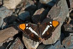 Sister on the rocks (Photosuze) Tags: california nature spring rocks wildlife butterflies insects californiasister perching adelphabredowii