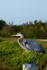 Posed On A Post (ac4photos.) Tags: bird nature florida wildlife wetlands everglades marsh greatblueheron loxahatchee gbh