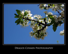 Blossoms on a tree (Dragos Cosmin- Getty Images Artist) Tags: light wallpaper white plant flower color detail macro tree green nature water floral beautiful beauty up closeup garden easter season cherry design leaf pom spring flora colorful branch close natural bright blossom gardening background seasonal decoration fresh pistil petal foliage growth romania bloom romantic environment delicate botany transilvania isolated blooming mures primavara cer albastru pomi reghin infloriti inflorit