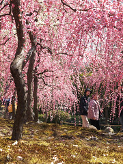 UME in full bloom (k n u l p) Tags: trees flower moss spring kyoto olympus apricot ume ep1  jonangu zd  prunusmume  1454mm