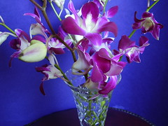 Mar 2012 674 Orchids for my birthday yesterday (monica_meeneghan) Tags: flowers stilllife nature spring mamasbloomers monicameeneghan thesunshinegroup