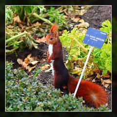 The farmer (dmelchordiaz) Tags: verde green squirrel chipmunk farmer celery ardilla granjero apio flickrduel dmelchordiaz