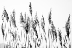 Wired to earth (bogob.photography) Tags: bw italy lake nature lago nikon artistic earth natura bn explore wired terra viverone explored d7000 bogob1980