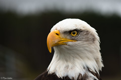 Bald Eagle Portrait (Ryan Gardiner) Tags: ontario canada macro bird eye yellow nikon eagle baldeagle beak kitchener raptor eyeball cropped mean majestic rocco birdsofprey 105mm 1000yardstare lr4 d800e