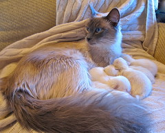 snowflake old blue cute eye fur point one fuzzy snowy kittens static week six ragdoll coloration albinism temperaturedependent skowflake