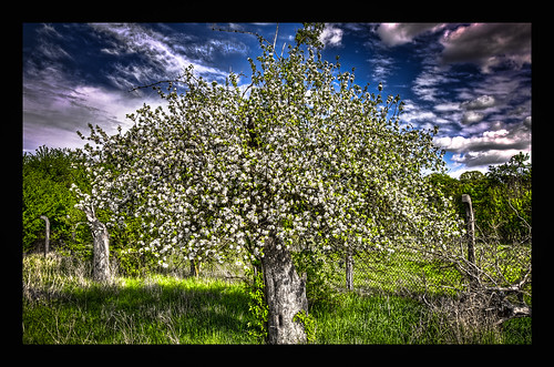 Just an apple tree.....
