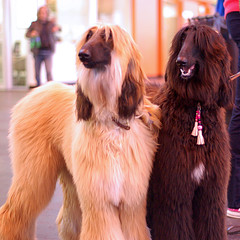Sisters (whitbywoof) Tags: hairy hound afghan crufts