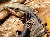 !!! IGUANA NEGRA (CTNOSAURA SIMILIS.) P-N.  MANUEL ANTONIO COSTA RICA .!!! (Jordi Camardons Caralt) Tags: costarica iguana reptil centroamerica garrobo iguanidae saurios iguananegra iguanarayada ctnosaurasimilis blackctnosaur