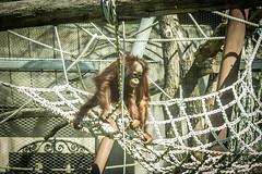 Neugieriges ffchen (NinchenBln) Tags: tschechien orangutan klettern affe gerst gehege primaten ss festhalten tierbaby 365m affenbaby canon1100d