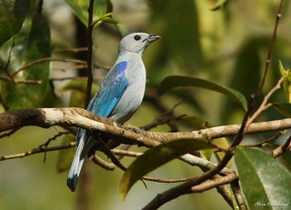 Tangara Azuleja | Blue-grey Tanager (Thraupis episcopus)