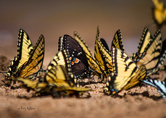 Bevy Of Beautiful Butterflies (Terry Aldhizer) Tags: yellow pine river virginia butterflies roanoke valley terry zebra swallowtail swallowtails aldhizer terryaldhizer terryaldhizercom