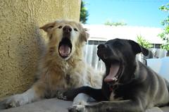 Like Grandpa Like Grandaughter (JessieGarcia) Tags: love dogs tongue goldenretriever puppy outside twins husky labrador fluffy yawning huskador goberian