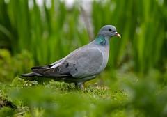 Stock Dove------ Columba oenas (creaturesnapper) Tags: uk birds europe doves stockdove columbaoenas maplelodge
