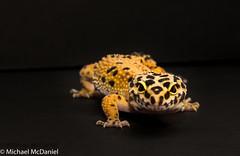 Leopard Gecko Lucy (michaelmcdaniel6) Tags: pets black yellow lucy reptile spots leopard gecko geckos reptiles leopardgecko michaelmcdaniel