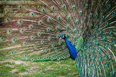 Peacock Wingham Wildlife Park (David Claringbold) Tags: england bird beautiful kent wings nikon raw pattern bright vibrant feathers peacock stunning d750 colourful tamron 70200 dominance lightroom winghamwildlifepark