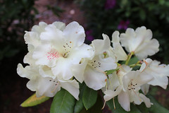 IMG_3012.JPG (robert.messinger) Tags: flowers rhodies
