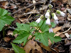Cut-Leaved Toothwort (mudder_bbc) Tags: newyork spring troy wildflowers oakwoodcemetery devilskitchentrail cutleavedtoothwort