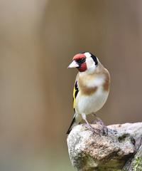 Chardonneret lgant (isabellebienfait1) Tags: birds rouge goldfinch oiseau plumes lgant chardonneret