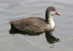 Young coot (Elisa1880) Tags: bird netherlands den young nederland hague haag eurasian coot vogel jong meerkoet atra the fulica