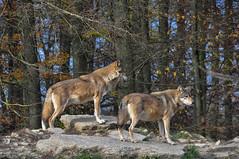 DSC_0557 (d90-fan) Tags: autumn animals tiere herbst hirsch braunbr brownbear geier waschbr wolfes luchs badmergentheim wlfe