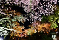 Colorful Night (Clonedbird  & Iris ) Tags: japan nikon kyoto   sakura    2016     kansi    d810