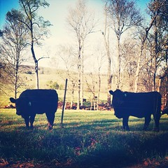 hey moo (babadri) Tags: beauty rural virginia cows explore thesouth agriculture bucolic neverstopexploring rurex lostonpurpose